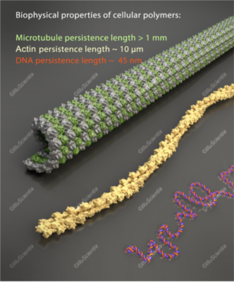 Biophysical properties of cellular polymers: microtubule, actin and DNA.