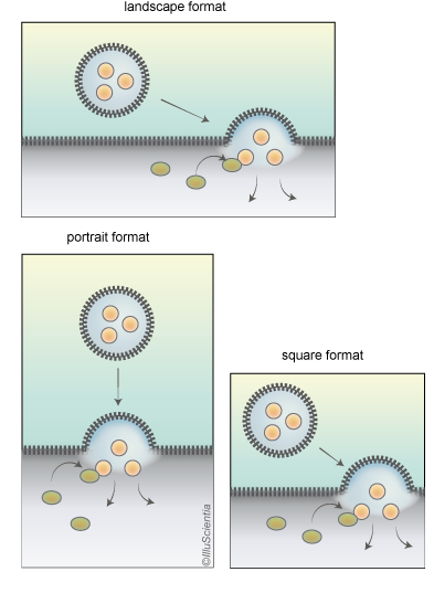 Image Formats: landscape, portrait and square format vesicle or virus approaching a cell